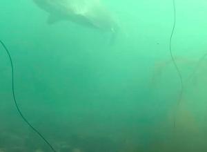 Ruwe haai gespot tussen Halverwege en Zeelandbrug