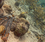 Coral restoration Marie Pampoon destroyed. All outplantings gone!
