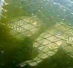 Veertien sepia's gespot in visnetten bij Gorishoek