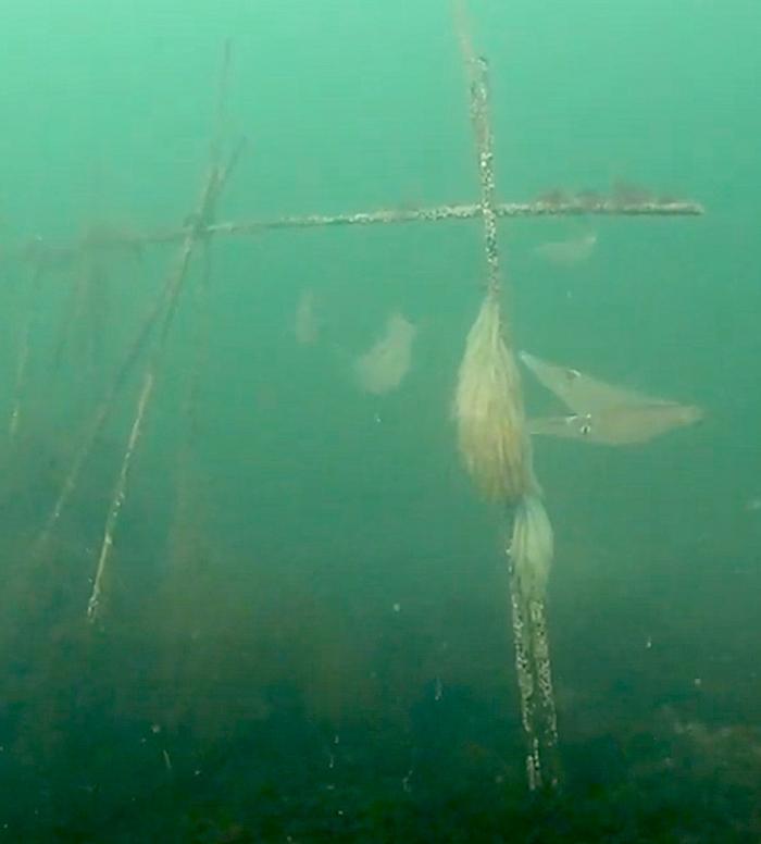 Fraaie beelden eerste pijlinktvissen. Heb je ze al gezien?