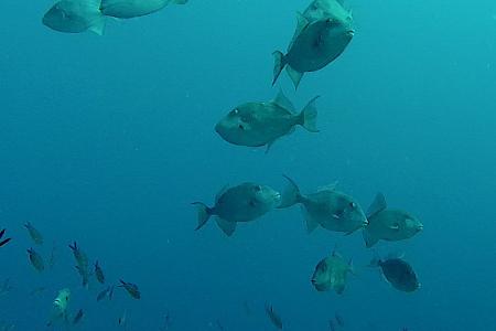 School triggerfish gespot op Malta. Zoveel zien ze er zelden