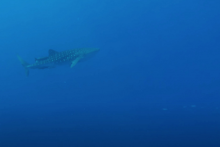 Walvishaai gespot bij Bari Reef Bonaire