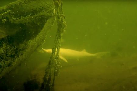 Witte steur gespot in Meerse plas