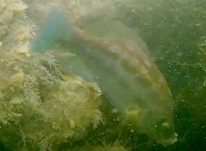 Sportduikers spotten paartje zwartooglipvissen