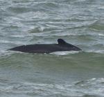 Walvis gespot bij IJmuiden
