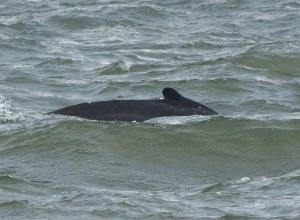 Walvis gespot bij Maasvlakte