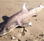 Haai spoelt aan op Texel