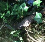 Vinkeveense buurt in de ban van krokodiel