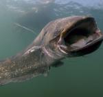 Duikers spotten meerval van 3,5 meter