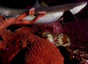Unieke beelden van een octopus die een haai aanvalt
