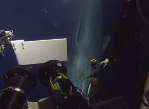ROV spot potvis op 600 meter diepte