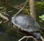 Waterschildpad kwijnt langzaam weg in onze wateren