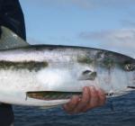Zwemt er straks yellowtail kingfisch in de Oosterschelde?