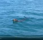 Zeer bijzonder zeehondengedrag